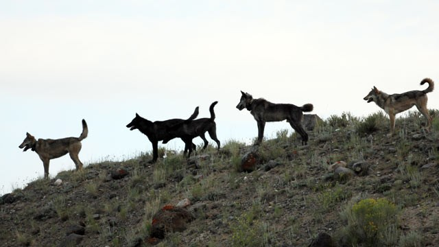 The Lamar Canyon wolf pack are seen on a hillside in Yellowstone National Park, Wyo., Aug. 2012. (Wolves of the Rockies/AP Photo)