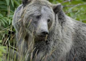 Grizzly_Bear_in_Yellowstone_National_Park (1)