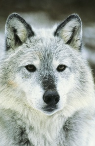 Gray Wolf 024